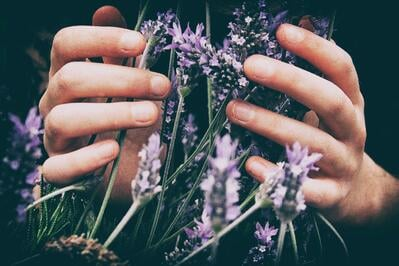 Woman's hands cupping wild lavender